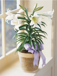 Easter Lily Plant by Rich Mar Florist