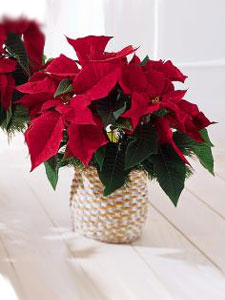 Santa's Special Red Poinsettia Basket by Rich Mar Florist